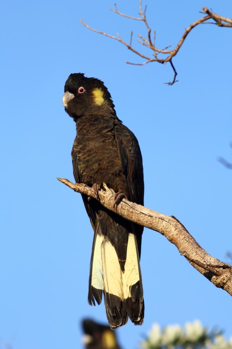 calyptorhynchus_funereus_-flinders_victoria_australia_-male-8
